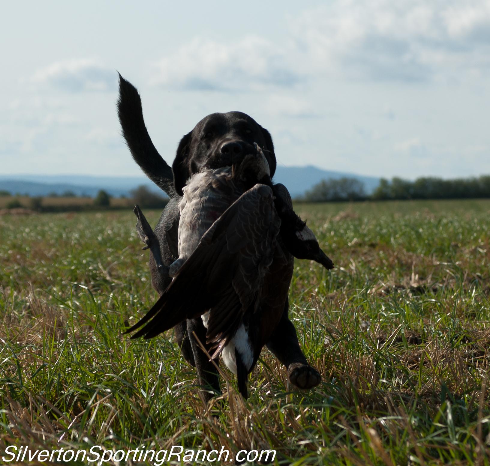Maine goose hunting