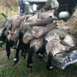 Maine goose guide